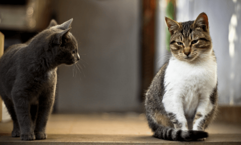 la cohabitation entre 2 chats