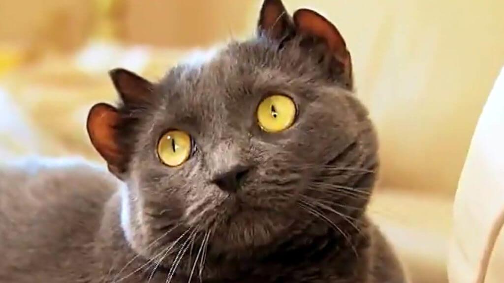 Oreilles étranges - anomalies génétiques inhabituelles chez les chats -
