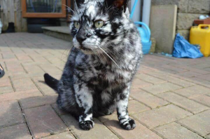 Vitiligo des chats - anomalies génétiques inhabituelles chez les chats -