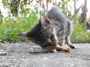 Mon chat peut-il manger des os?