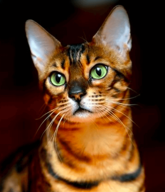 Le comportement du chat Toyger: