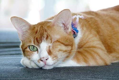 Les causes de conjonctivite du chat :