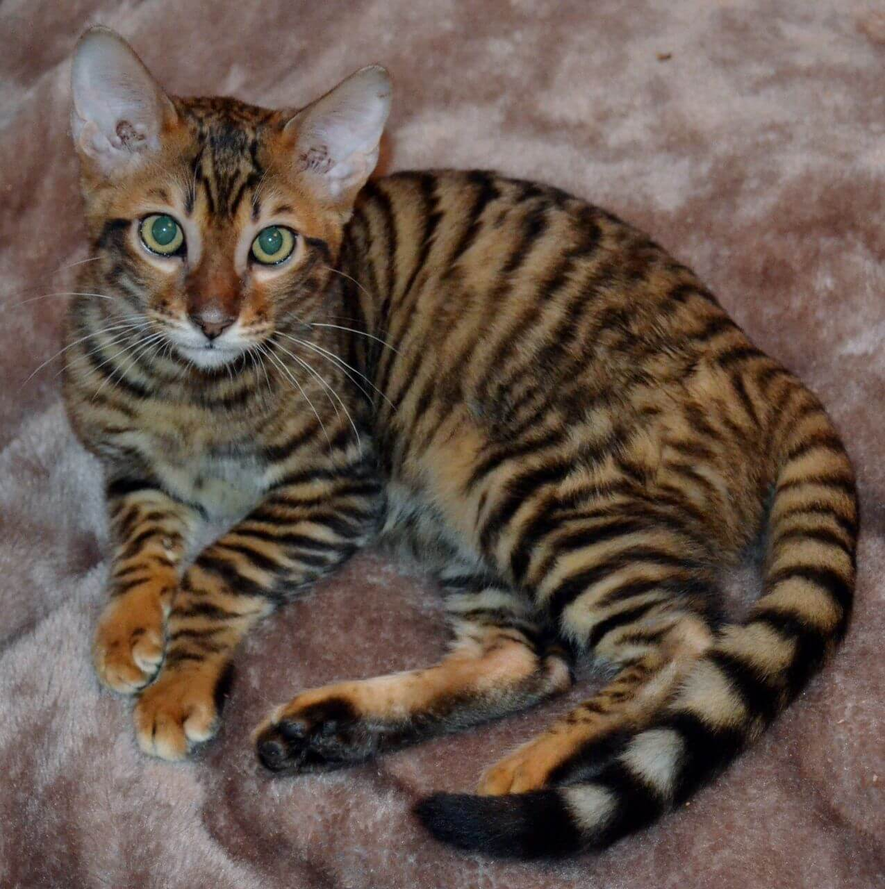 Les choses à faire avant d'adopter un chat Toyger
