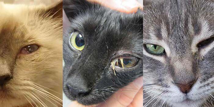 Les symptômes du conjonctivite du Chat