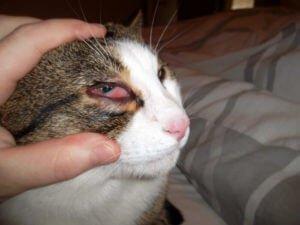 Qu'est ce que la conjonctivite du chat ?
